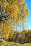 Herbstbirke Stockfoto