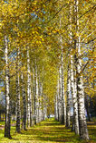 Herbstbirke mit gelben Blättern Stockfotografie