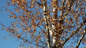 Herbstbirke verlässt über blauem Himmel stock footage