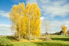 Herbstbirken lizenzfreie stockfotos