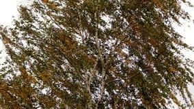 Herbstbirkenstamm Lizenzfreies Stockfoto