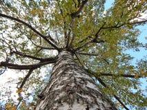 Herbstbirkenstamm Stockbilder