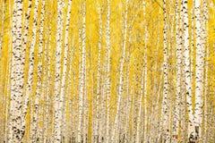 Herbstbirkenwald Stockfoto