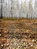 Herbstbirkenwald Lizenzfreie Stockfotos