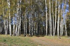 Herbstbirkenwald mit Schotterweg Stockbild