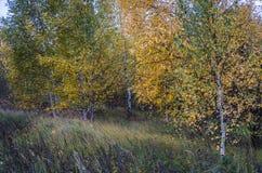 Herbstbirkenwaldung Lizenzfreies Stockfoto