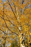 Herbstbirkenzweige. Drastische Saisonänderungen Stockbilder