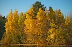 Herbstbirkenzweige nahe einem Waldsee Stockfotos