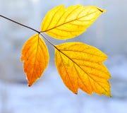 Herbstblättchen Lizenzfreies Stockbild