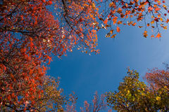 Herbstblätter (Ahornholzbäume) Lizenzfreies Stockbild