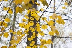Herbstblätter auf Bäumen Stockfoto