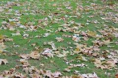 Herbstblätter auf grünem Gras Stockfotografie