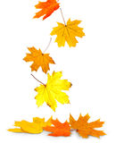 Herbstblätter auf Weiß Stockfotos