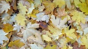 Herbstblätter des Ahornholzes Lizenzfreies Stockfoto
