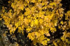 Herbstblätter des Ahornholzes Stockfotografie