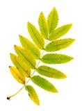 Herbstblätter einer Eberesche, Unterseite stockfotos