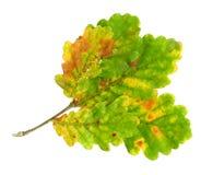 Herbstblätter einer Eiche, Oberfläche stockfoto