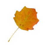 Herbstblätter einer Espe, Oberfläche lizenzfreies stockfoto