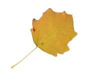 Herbstblätter einer Espe, Unterseite stockfoto