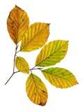 Herbstblätter einer kupfernen Buche, Oberfläche stockfotografie