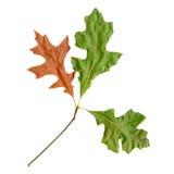 Herbstblätter einer roten Eiche, Unterseite stockbild