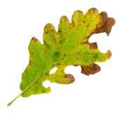 Herbstblätter einer sessile Eiche, Oberfläche lizenzfreies stockbild