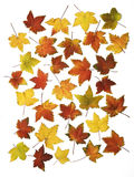 Herbstblätter getrennt Stockfoto