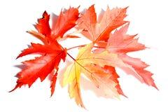 Herbstblätter getrennt auf weißem Hintergrund Lizenzfreies Stockbild