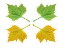 Herbstblätter getrennt auf weißem Hintergrund Stockfotos