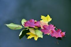 Herbstblätter im Wasser Stockfoto