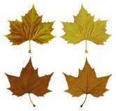Herbstblätter mit Ausschnittspfad stockfotografie