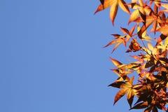 Herbstblätter mit dem Hintergrund des blauen Himmels Stockbilder