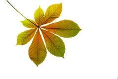 Herbstblatkastanie Stockfoto