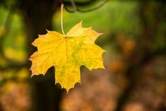 Herbstblatt auf Baum stockbilder