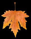 Herbstblatt auf einem schwarzen Hintergrund Lizenzfreie Stockfotos