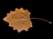Herbstblatt auf einem schwarzen Hintergrund Stockfotos