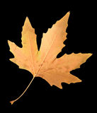 Herbstblatt auf einem schwarzen Hintergrund Stockfotografie
