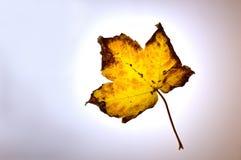 Herbstblatt, das durch einen nebelhaften Himmel fällt Lizenzfreie Stockfotografie