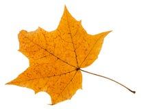 Herbstblatt des Ahornbaums lokalisiert auf Weiß Stockbilder