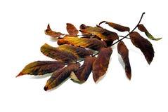 Herbstblatt einer Eberesche Stockfotos
