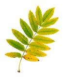 Herbstblatt einer Eberesche, Oberfläche Stockbilder