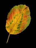 Herbstblatt einer japanischen Rose, Oberfläche stockbilder