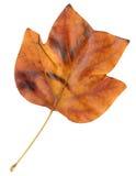 Herbstblatt eines Tulpebaums, Oberfläche lizenzfreies stockfoto