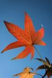 Herbstblatt gegen das blaue s Lizenzfreies Stockfoto