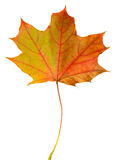 Herbstblattahorn lokalisiert Lizenzfreies Stockbild