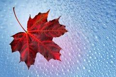 Herbstblattahorn mit Tropfen Stockfotografie