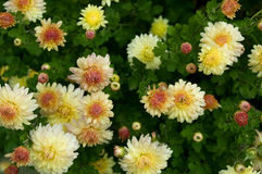 Herbstblume Lizenzfreies Stockfoto
