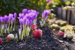 Herbstblume Colchicum, ähnlich Frühlingskrokussen Schön und giftig lizenzfreies stockbild