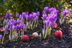 Herbstblume Colchicum, ähnlich Frühlingskrokussen Schön und giftig stockfotos