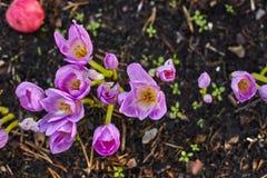 Herbstblume Colchicum, ähnlich Frühlingskrokussen Schön und giftig stockbilder